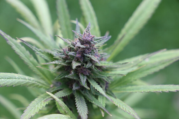 Haze cannabis, effetti e conseguenze